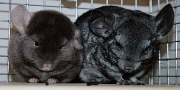 The Chinchillas - Elby and Brisco